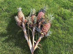 how does your garden grow - pineapple small.jpg