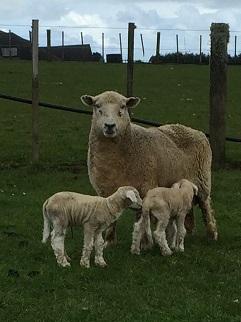 lamb pic.jpg
