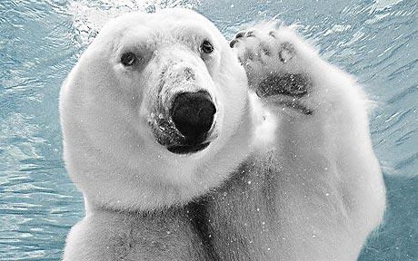 polar-bear_1533674c.jpg