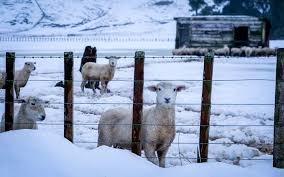 winter sheep.png
